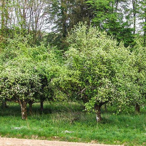 Obstbaumschneiden